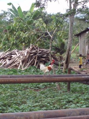 Chicken on oil pipeline in Ecuador