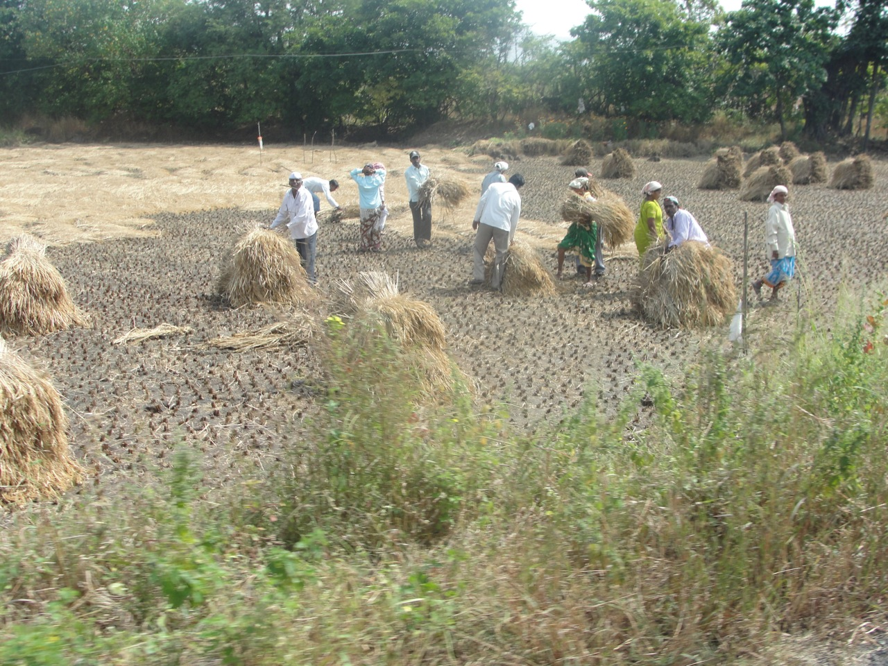 Workers harvesting rice with sickles.