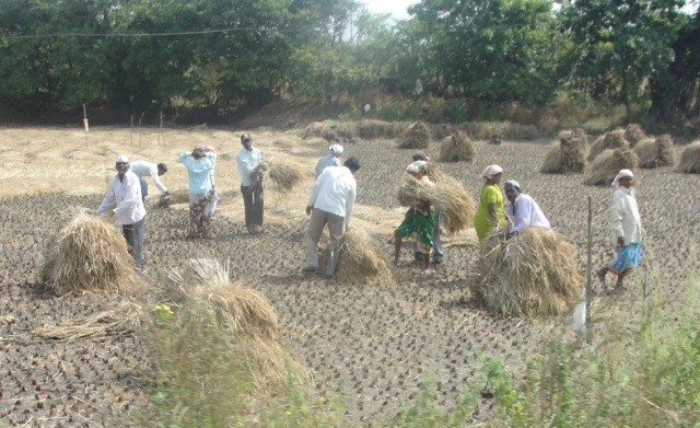 Figure 2. Workers harvesting rice in India. Photo taken by author while visiting India in October 2012.