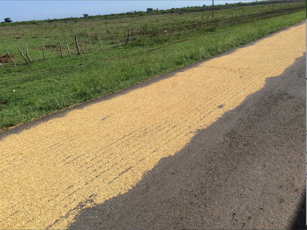Figure 7. Rice laid on road to dry.